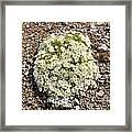 Cerastium Uniflorum Framed Print