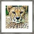 Cheetah Stare L Framed Print