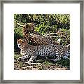 Cheetahs Of The Masai Mara Framed Print