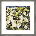 Cherry Blooms Framed Print