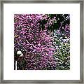 Cherry Blossom 3 Framed Print