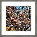 Cherry Blossoms 2013 - 051 Framed Print
