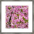Cherry Blossoms 2013 - 097 Framed Print