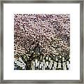 Cherry Blossoms Grace Arlington National Cemetery Framed Print by Susan Candelario