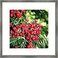Cherry Laurel  Framed Print