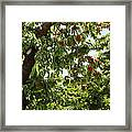 Cherry Orchard  Framed Print