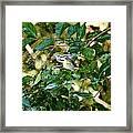 Chestnut-sided In Sprinkler Framed Print