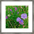 Chicory And Purple Vetch Along Rivier Du Nord Trail In Laurentians-quebec Framed Print