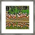 Chilean Flamingo Reflection In San Diego Zoo Safari Park In Escondido-california Framed Print