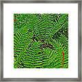Cinnamon Ferns Along Skyline Trail In Cape Breton Highlands Np-n Framed Print