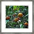 Citrus Sinensis Framed Print