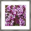 Close-up Of Redbud Tree Blossoms Framed Print
