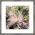 Close-up Of The Prairie Smoke Wildflower Framed Print