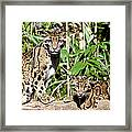 Clouded Leopards Framed Print