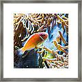Clown Fish - Anemonefish Swimming Along A Large Anemone Amphiprion Framed Print