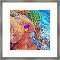 Clown Fish Swimming Near Colorful Corals Framed Print