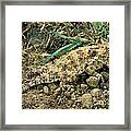 Coast Horned Lizard Framed Print