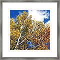 Colorado Aspens And Blue Skies Framed Print