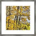 Colorado Fall Aspens 2 Framed Print
