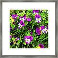 Colorful Pansies Framed Print