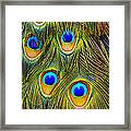 Colorful Plumage Of Peacock Framed Print