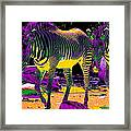 Colourful Zebras  Framed Print