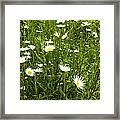 Coming Up Daisy's Framed Print