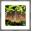 Common Birdwing Butterfly Framed Print