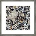 Conch Among A Sea Of Shells Framed Print