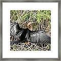 Cormorant Wingspan Framed Print