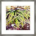 Cornish Rock Pool Snakelocks Anemone Framed Print