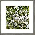 Cotton Grass On Homestead Trail In Homer-ak- Framed Print