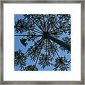 Cow Parsley Outlined Against A Summer Sky Framed Print