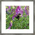 Cow Vetch Wildflowers And Bumble Bee Framed Print