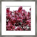 Crabapple Tree Blossoms Framed Print
