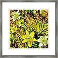 Cream Cups In Antelope Valley California Poppy Reserve-california  Framed Print
