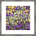 Crocus Field Framed Print