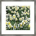 Daffodil Field 2 Framed Print