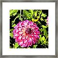 Dahlia 9 Framed Print