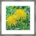 Dandelion Flowers Are Beautiful. Framed Print
