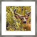 Deer Buck In Velvet Framed Print