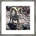 Desert Bighorn Sheep Framed Print