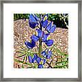 Desert Lupine-arizona   Framed Print