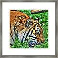 Determination In The Tigers Stare Framed Print