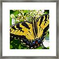 Dinner For The Swallowtail Framed Print