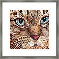 Domestic Tabby Cat Framed Print