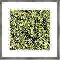 Dwarf Evergreen Framed Print