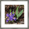 Dwarf Lake Iris Framed Print