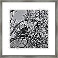 Eagles Along The Mississippi 2 Framed Print