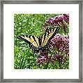 Eastern Tiger Swallowtail On Joe Pye Weed Framed Print